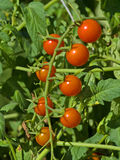 Cherry Tomatoes. Photograph of some ripe and ready to pick and eat Cherry Tomatoes Stock Photos
