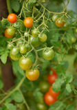 Cherry-tomatoes Stock Images