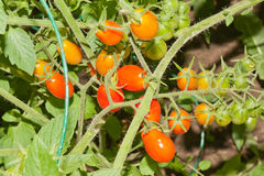 Cherry Tomatoes. A closeup of a cluster of ripe cherry tomatoes growing on the vine in the garden Stock Image