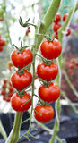 Cherry tomatoes. A bunch of cherry tomatoes Royalty Free Stock Photography