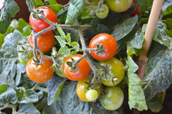 Cherry tomatoes Stock Photo
