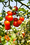 Cherry tomatoes. Ripen cherry tomatoes in garden Stock Photos