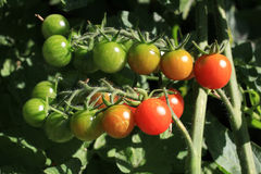 Cherry Tomatoes. Homegrown cherry tomatoes in a garden Royalty Free Stock Photos