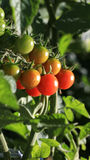 Cherry Tomatoes. Homegrown cherry tomatoes in a garden Stock Photo