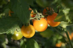 Cherry tomatoes. Ripening to orange, with sun shining on the tomato Stock Images