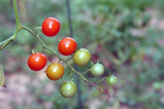 Cherry Tomatoes. A group of ripening cherry tomatoes Royalty Free Stock Photography