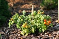 Cherry Tomatoes Imagen de archivo libre de regalías