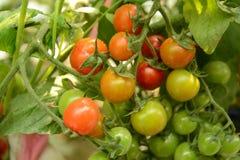 Cherry Tomatoes Imagens de Stock