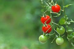 Cherry Tomatoes Immagine Stock Libera da Diritti