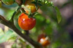 Cherry Tomatoes Fotografia Stock Libera da Diritti