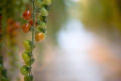 Cherry Tomatoes Royalty-vrije Stock Afbeeldingen