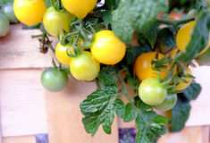 Cherry Tomatoes amarelo minúsculo Fotografia de Stock Royalty Free