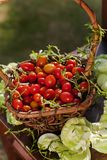 Cherry tomatoes in a basket stock images