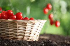 Cherry tomatoes basket in vegetable garden Stock Photography