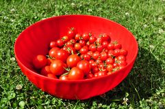 Cherry tomatoes in a bowl Royalty Free Stock Photo