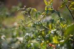 Cherry tomatoes. On a branch Stock Image