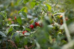 Cherry tomatoes. On a branch Royalty Free Stock Photo