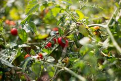 Cherry tomatoes. On a branch Royalty Free Stock Photos
