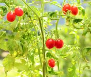 cherry tomatoes on branches Royalty Free Stock Photos