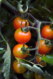 Cherry tomatoes on bush. Environmentally friendly product, organic gardening Stock Images