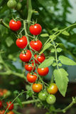 Cherry tomatoes on bush. In greenhouse Stock Image