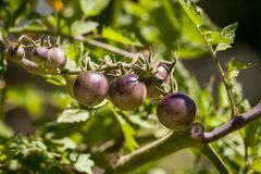 Cherry tomatoes called kissed by a smurf for being purple tomato. Es in an organic vegetable garden Royalty Free Stock Images