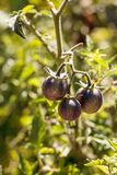 Cherry tomatoes called kissed by a smurf for being purple tomato. Es in an organic vegetable garden Stock Images