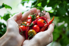 Cherry tomatoes and chili peppers in hands close-up Royalty Free Stock Images
