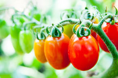 Cherry tomatoes cluster Royalty Free Stock Photography