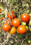 Cherry tomatoes cluster Stock Images