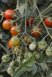 Cherry Tomatoes de amadurecimento Imagem de Stock