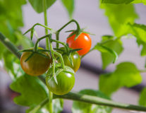 Cherry tomatoes in different stages of growth growing on vine. Stock Photos