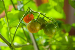 Cherry tomatoes in different stages of growth on plant vine. Royalty Free Stock Photos