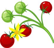 Cherry tomatoes and flower tomato on the vine stock image
