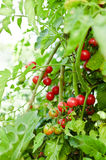 Cherry tomatoes in garden Royalty Free Stock Photography
