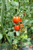 Cherry Tomatoes. In the garden Stock Images