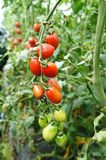 Cherry Tomatoes. In the garden Royalty Free Stock Photos