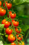 Cherry tomatoes in the garden Royalty Free Stock Images