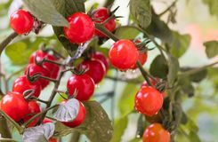 Growing  cherry tomatoes Royalty Free Stock Images