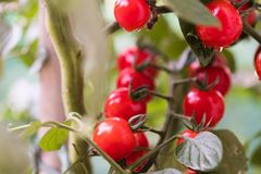 Growing  cherry tomatoes Royalty Free Stock Photos