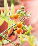 Cherry tomatoes. In a garden (selective focus Stock Photo