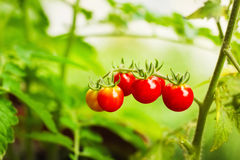Cherry tomatoes in a garden Royalty Free Stock Photography