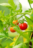 Cherry tomatoes in a garden Royalty Free Stock Images