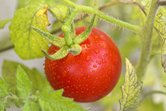Cherry tomatoes in a garden Stock Images