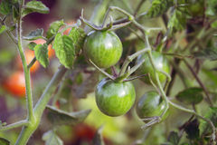 Cherry tomatoes. Green cherry tomatoes in garden Stock Photography
