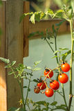 Cherry tomatoes in greenhouse Stock Photo