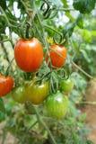 Cherry tomatoes grow in the garden Stock Photos