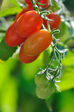 Cherry tomatoes growing Royalty Free Stock Images