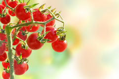Cherry tomatoes growing in garden Royalty Free Stock Image