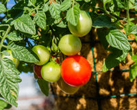 Cherry tomatoes growing in the garden Royalty Free Stock Photos